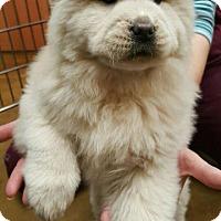 Adopt A Pet :: Koala - Barrington, RI