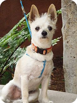 Pomeranian/Terrier (Unknown Type, Small) Mix Dog for adoption in Riverside, California - CHESTY P