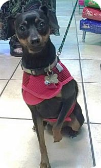 Miniature Pinscher Mix Dog for adoption in Sedona, Arizona - Betty Jo