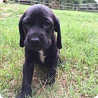 Adopt A Pet :: Ginger - Cumming, GA