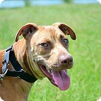 Labrador Retriever/Weimaraner Mix Dog for adoption in Hazlehurst, Georgia - Kalean