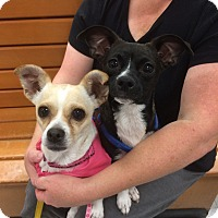 Adopt A Pet :: Cherish - Tracy, CA