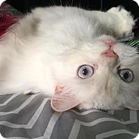 Adopt A Pet :: Snowflake - Fort Lauderdale, FL