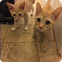 Domestic Shorthair Cat for adoption in O'Fallon, Missouri - Biscotti & Strudel