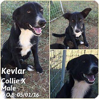 Collie Mix Puppy for adoption in DeForest, Wisconsin - Kevlar