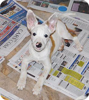 Cattle Dog/German Shepherd Dog Mix Puppy for adoption in Conesus, New York - Piglet