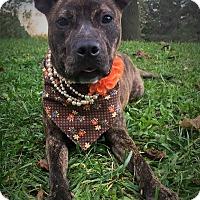 Adopt A Pet :: Ivanka - Flint, MI