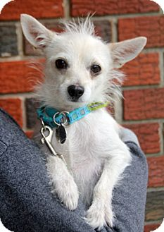 Terrier (Unknown Type, Small)/Chihuahua Mix Dog for adoption in Harrison, New York - Mia