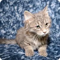 Domestic Longhair Kitten for adoption in Salt Lake City, Utah - Chip