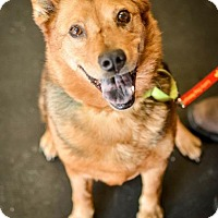 German Shepherd Dog/Chow Chow Mix Dog for adoption in Indianapolis, Indiana - Dorothy