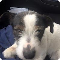 Adopt A Pet :: Link - Newport, KY