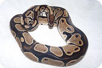 Snake for adoption in Richmond, British Columbia - Powder