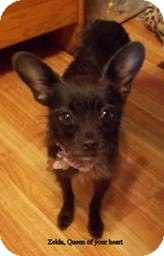 Chihuahua/Schnauzer (Miniature) Mix Dog for adoption in San Diego, California - Zelda