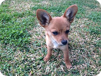 Pomeranian/Chihuahua Mix Puppy for adoption in El Cajon, California - Tiny TEDDY