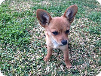 Pomeranian/Chihuahua Mix Puppy for adoption in San Diego, California - Tiny TEDDY