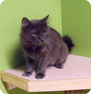Domestic Longhair Cat for adoption in Dover, Ohio - Skylar