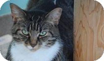 Domestic Shorthair Cat for adoption in Marietta, Georgia - Pixie