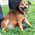 Adopt A Pet :: RUSTY