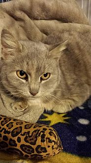 Domestic Shorthair Cat for adoption in Clarkson, Kentucky - Pale Momma