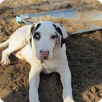 Great Dane Dog for adoption in Raleigh, North Carolina - Goose
