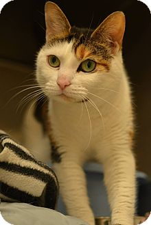 Domestic Shorthair Cat for adoption in Beacon, New York - Josie