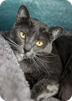 Russian Blue Cat for adoption in Dallas, Texas - Grace