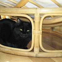 Domestic Mediumhair Kitten for adoption in Polson, Montana - Ollie
