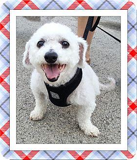 Bichon Frise Dog for adoption in Tulsa, Oklahoma - Adopted!!Luke - IL