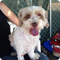 Lhasa Apso Dog for adoption in Temecula, California - Lauren