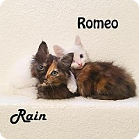 Domestic Mediumhair Kitten for adoption in Redwood City, California - Rain