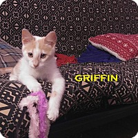 Domestic Shorthair Kitten for adoption in Speedway, Indiana - Griffin