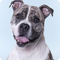 American Bulldog Mix Dog for adoption in Chicago, Illinois - Graham