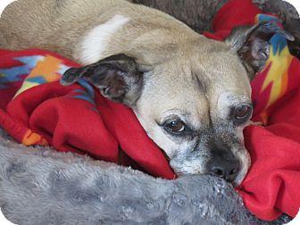 Pug/Dachshund Mix Dog for adoption in St Louis, Missouri - Fancy