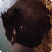 Adopt A Pet :: Dame Cook - Aurora, CO