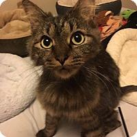 Adopt A Pet :: Cashew - Chicago, IL