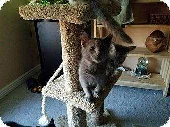 Domestic Shorthair Kitten for adoption in Denver, Colorado - Cat-Charlie