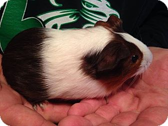 Guinea Pig for adoption in South Bend, Indiana - Ginger - 6 weeks old