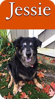 Shepherd (Unknown Type)/Collie Mix Dog for adoption in Sharon Center, Ohio - Jessie