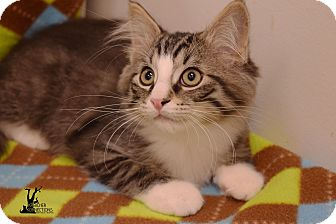 Domestic Mediumhair Kitten for adoption in Flushing, Michigan - Monkey