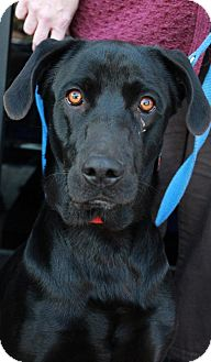Labrador Retriever Mix Dog for adoption in Youngsville, North Carolina - Avery