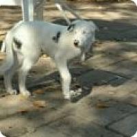 Adopt A Pet :: Laddie - Reno, NV