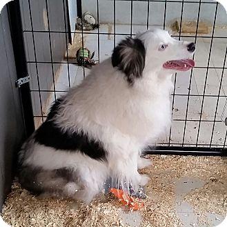 Australian Shepherd Mix Dog for adoption in Walthill, Nebraska - Brewster