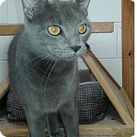 Domestic Shorthair Cat for adoption in Ozark, Alabama - Vincent