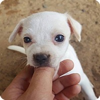 Adopt A Pet :: White/Cream Male Chi Pup - Smithtown, NY