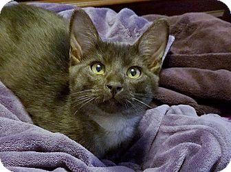 Domestic Shorthair Kitten for adoption in Los Angeles, California - Brutus