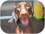 Weimaraner/Labrador Retriever Mix Dog for adoption in Eustis, Florida - Hershey