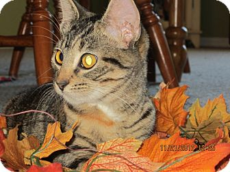 Domestic Shorthair Cat for adoption in Bunnell, Florida - Sissy
