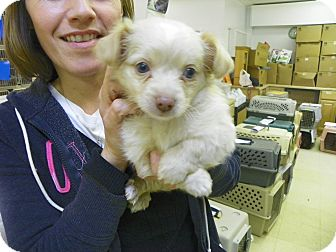 Maltese Mix Puppy for adoption in Waldorf, Maryland - Apollo