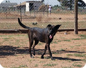 Labrador Retriever Mix Dog for adoption in Las Cruces, New Mexico - Coco