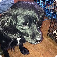 Adopt A Pet :: Maggie May - Sponsor Only - Chicopee, MA